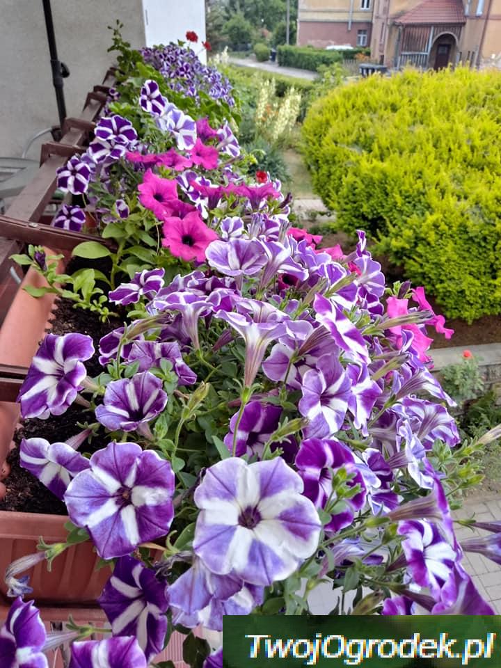 Piekne Kwiaty Na Balkon Plants