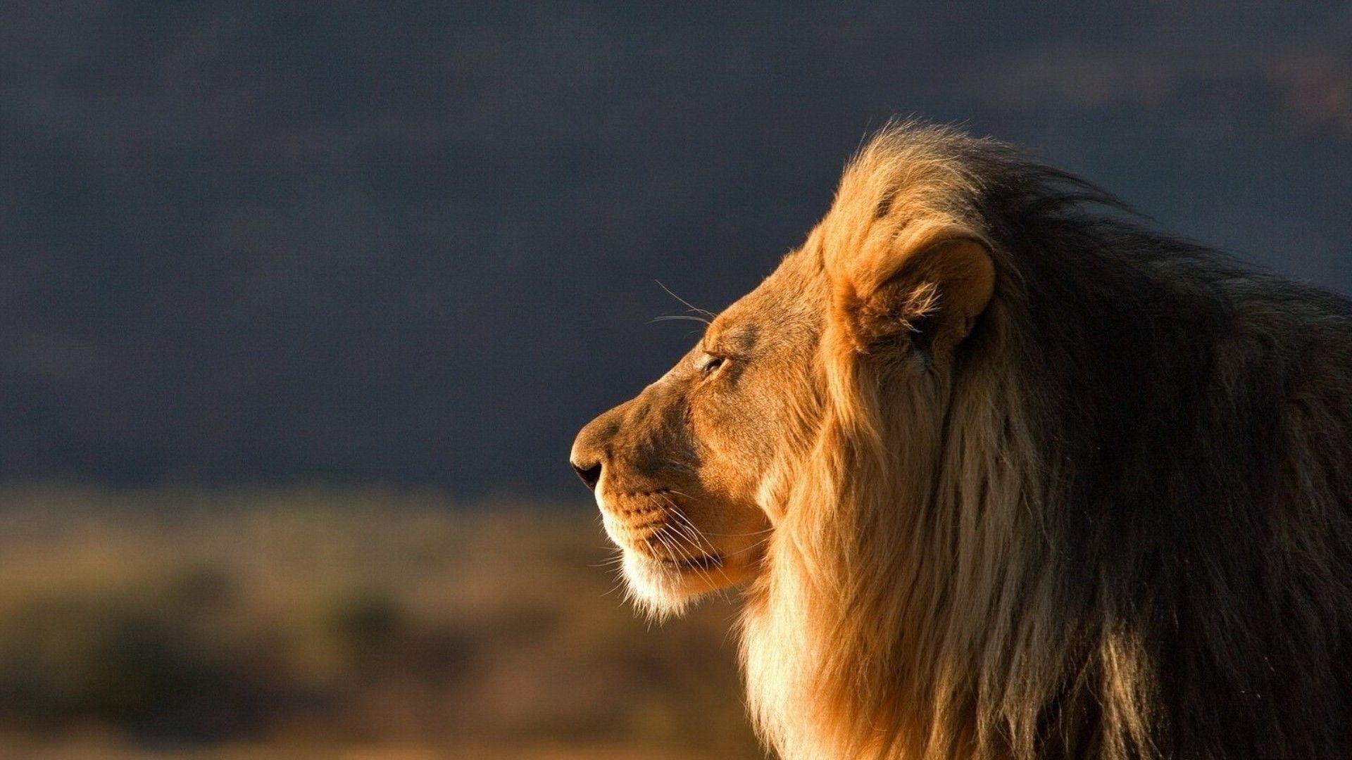 1920x1080 1920x1080 Wallpaper Lion Face Mane Coat Profile Lion Images Lion Hd Wallpaper Cute Wild Animals