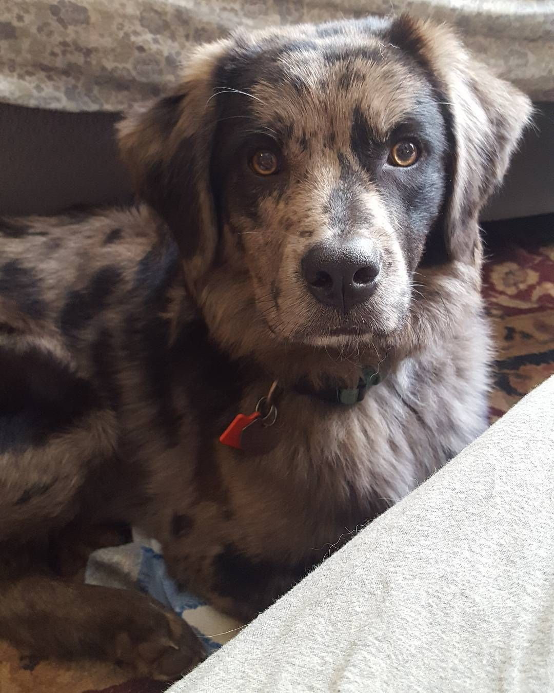 Louisiana Catahoula Leopard Australian Shepherd Mix Named Jax