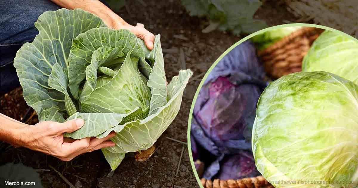 All about growing cabbage growing cabbage growing seeds