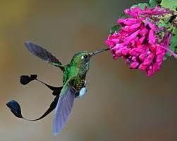 spatuletail hummingbird - Google Search