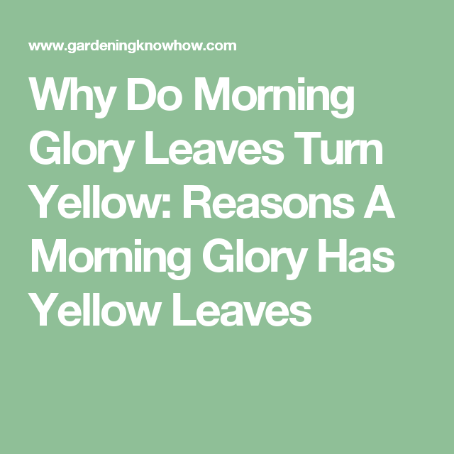 Yellow Morning Glory Foliage Treating Yellow Leaves On Morning Glories Yellow Leaves Morning Glory Leaves