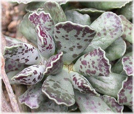 Adromischus Cooperii Adromischus Wikipedia Cactus Piante