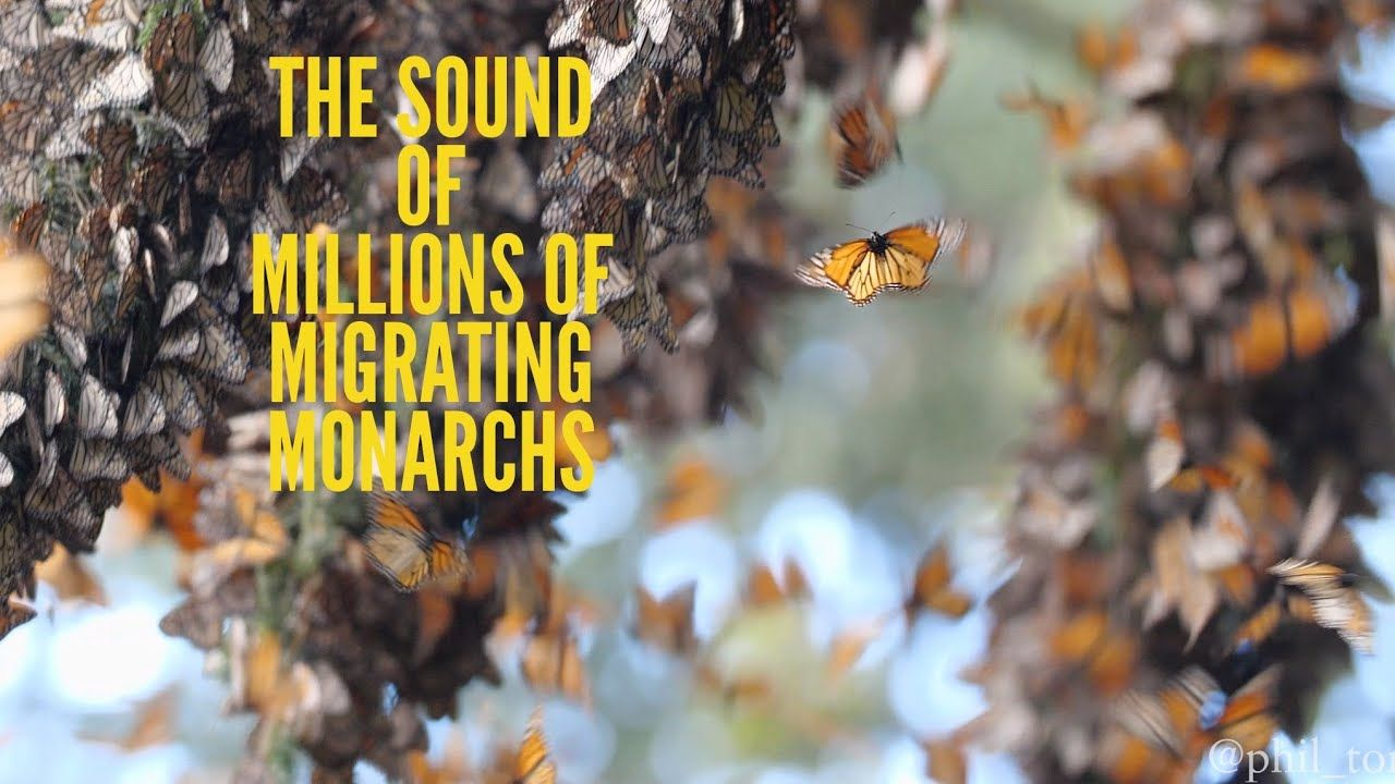 What do Millions of Monarch Butterflies SOUND Like