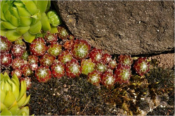 Sempervivum arachnoideum - < rubrum >
