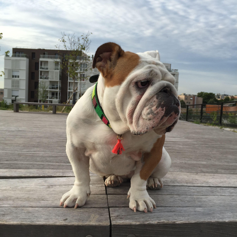 Collier en cuir Kenya pour chien, Maclaud It Dogs