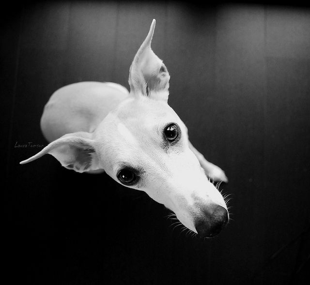Greyhound, one of the best dogs I ever had