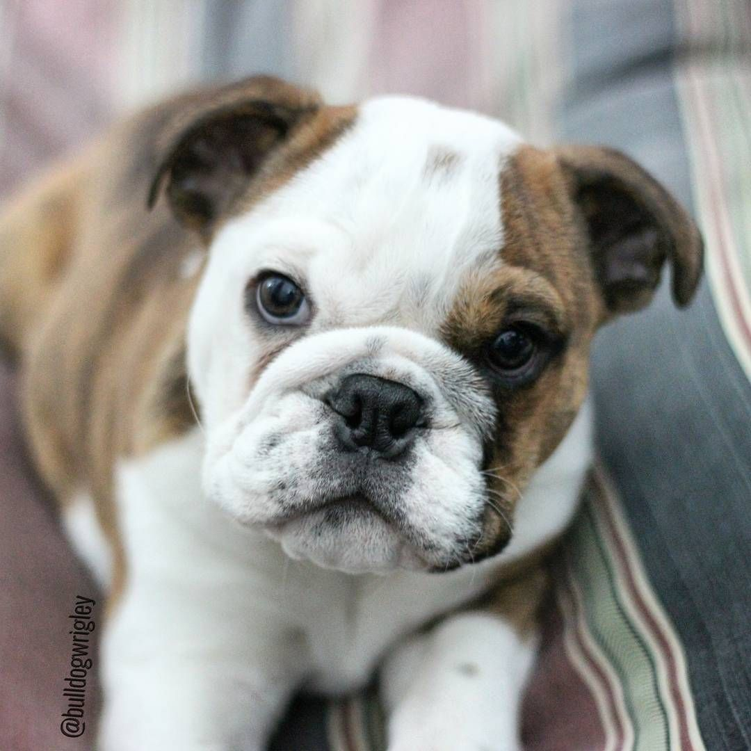 Puppy Love English Bulldog Puppy Baby Puppy