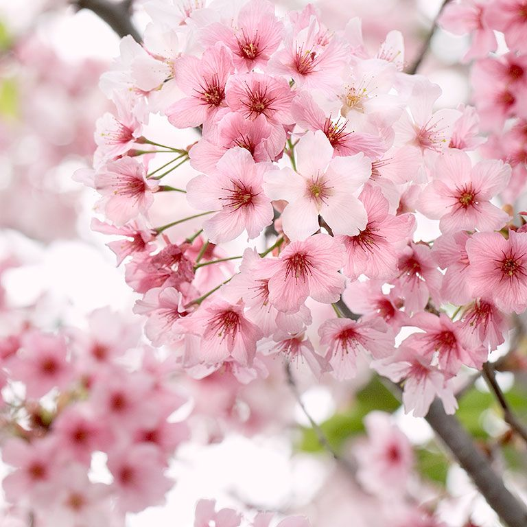 Cherry Blossoms In 2021 Healthcare Art Nature Art Flower Pictures