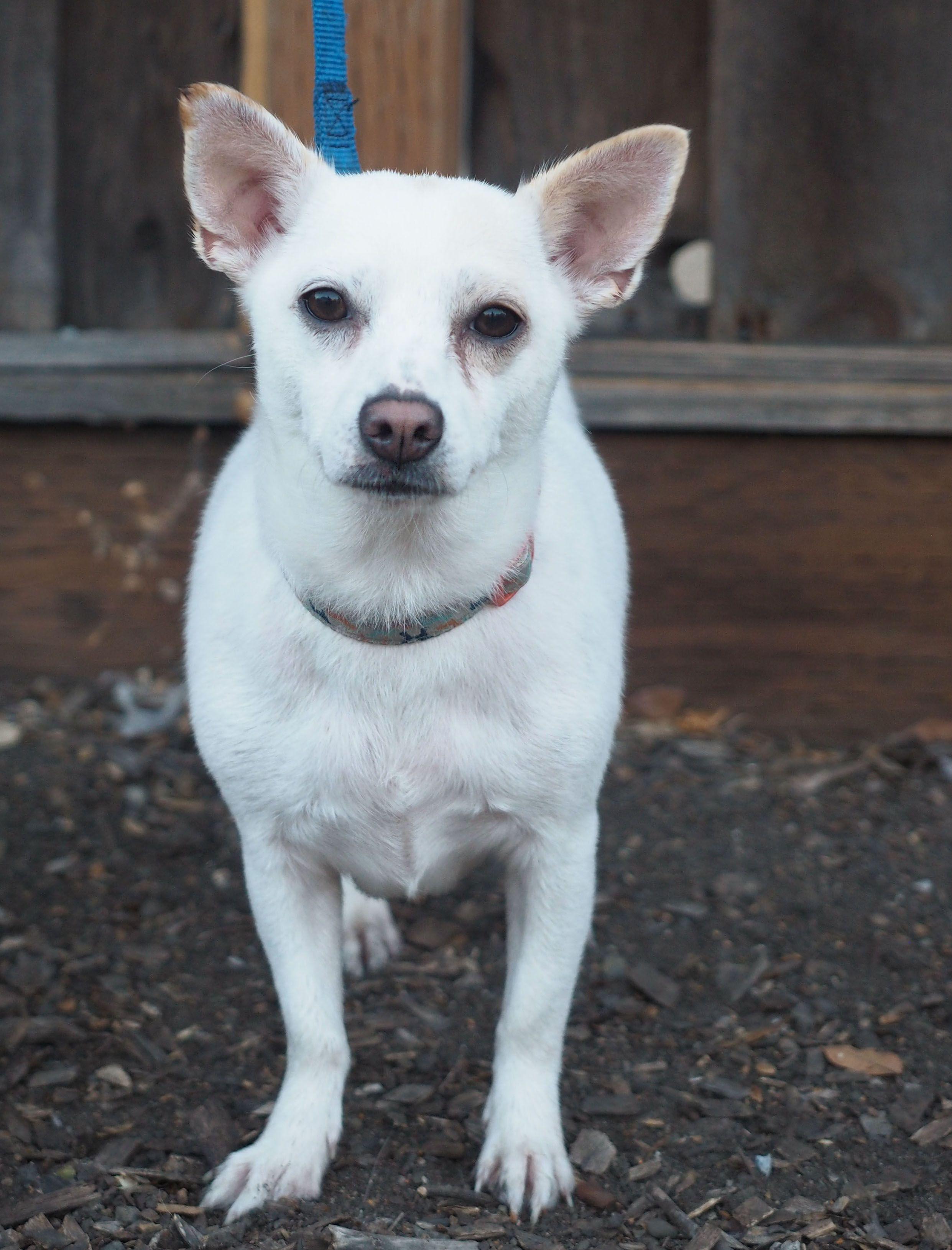 Dorgi Dog For Adoption In Palo Alto Ca Adn 698728 On Puppyfinder Com Gender Female Age Adult Dog Adoption Corgi Dachshund Dogs