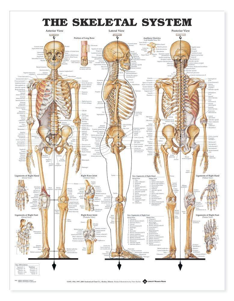Pin de Amitav Nayak en Charts | Pinterest | Anatomía, Antropología ...
