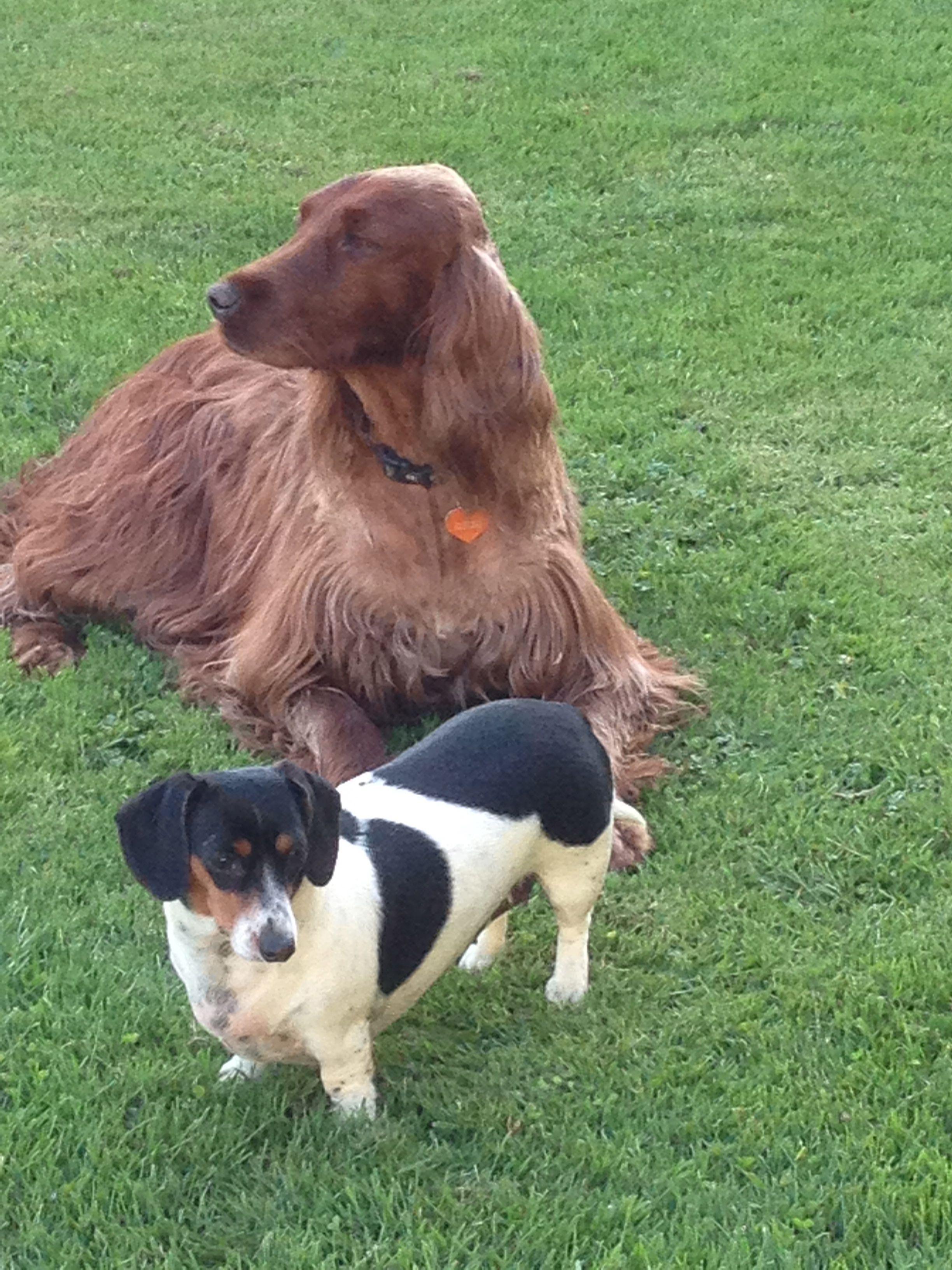 Irish Setter Dachshund Irish Setter Animals Dachshund