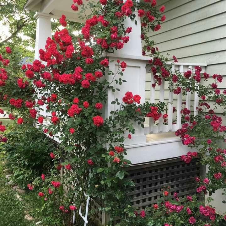 Mature climbing rose