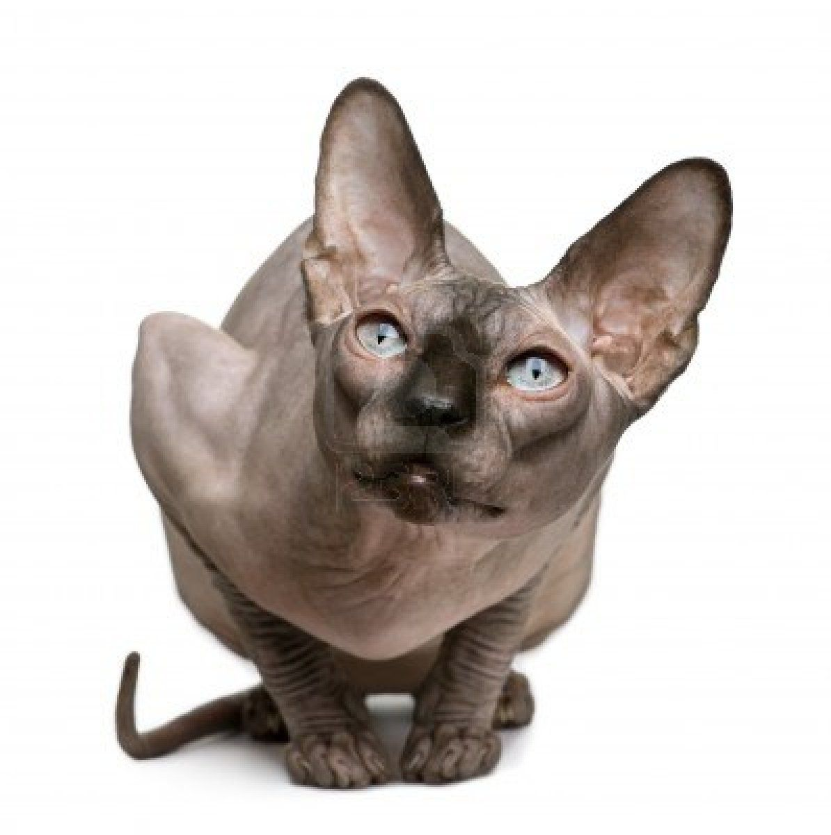 Stock Photo With Images Sphynx Cat Hairless Cat Devon Rex Cats