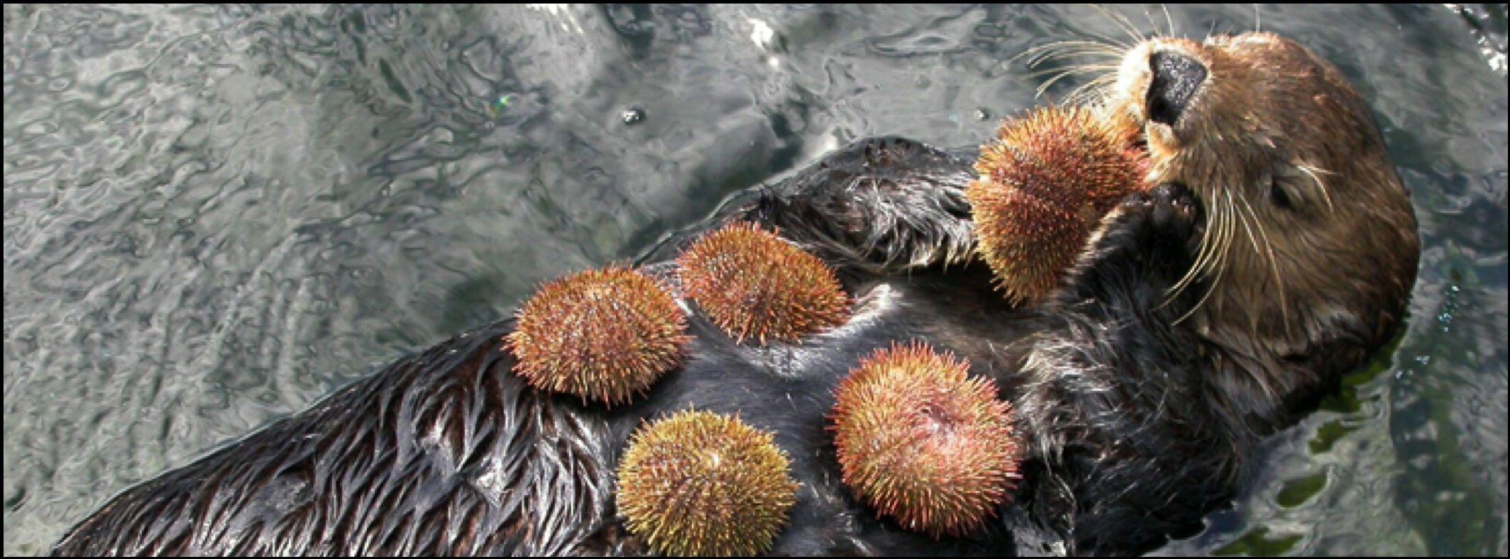 Sea Otter eating sea urchin.   ~Facebook Cover Photos~   Pinterest ...