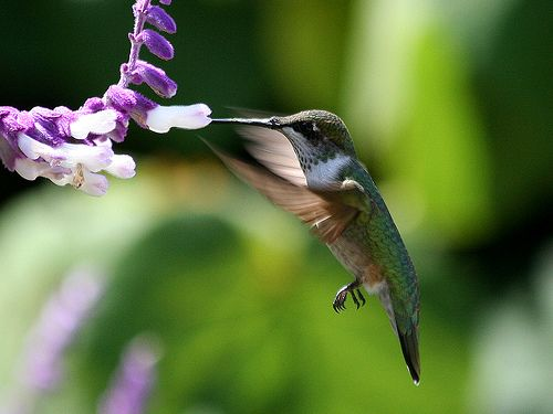 Mayan legend says that the Hummingbird is actually the sun in disguise who is trying to win the love of a beautiful woman – the moon.