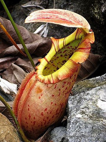 Image result for habitat nepenthes northiana