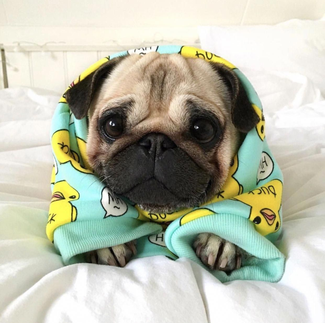 Figure Out Additional Relevant Information On Pug Dogs Visit Our