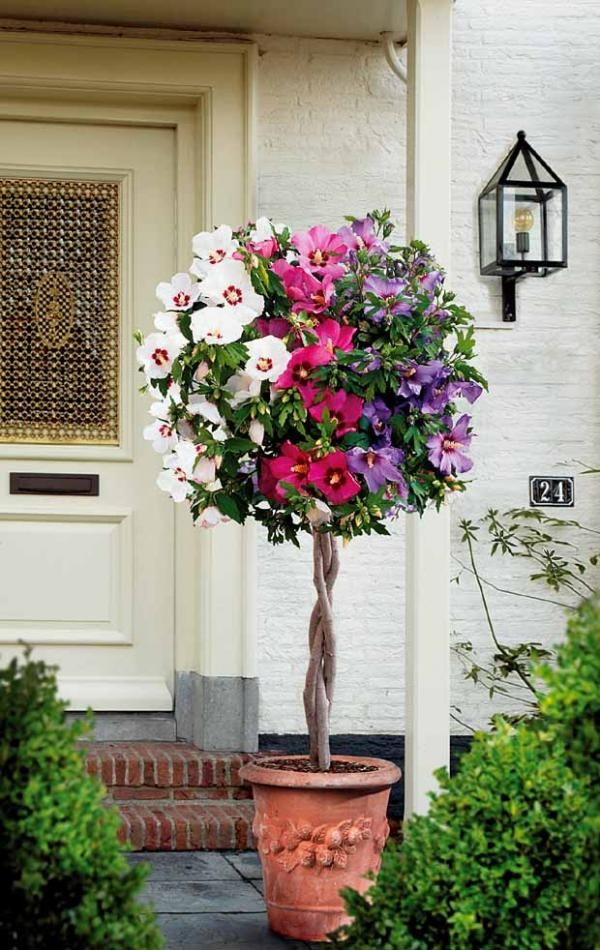 hibiscus tricolore sur tige haie pinterest hibiscus tiges et arbuste sur tige. Black Bedroom Furniture Sets. Home Design Ideas