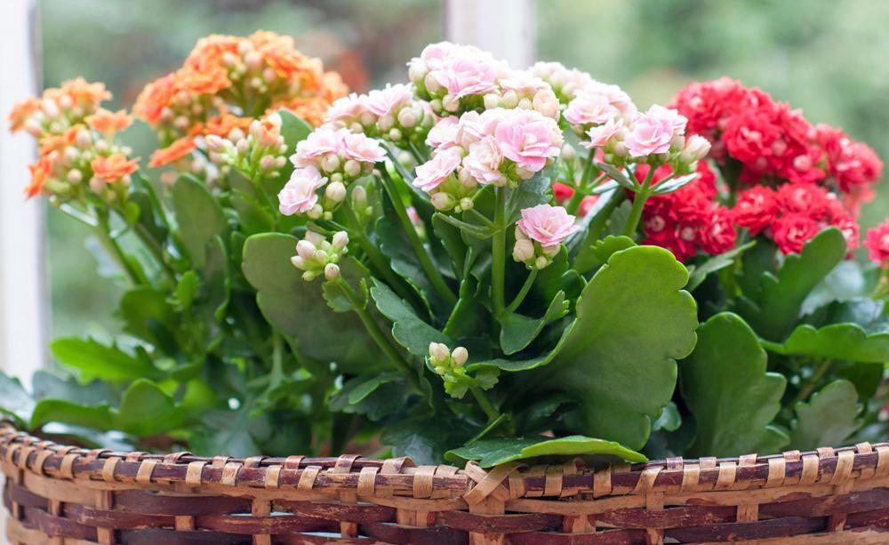 Bluhende Zimmerpflanzen Diese 7 Arten Bringen Viel Farbe Ins Haus Bluhende Zimmerpflanzen Zimmerpflanzen Pflanzen