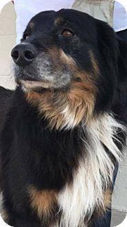 4 7 17 Austin Tx Bernese Mountain Dog Mix Meet Branson A Dog For Adoption Http Www Adoptapet Co Bernese Mountain Dog Dog Mixes Bernese Mountain Dog Mix