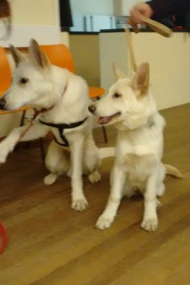 White German Shepherd Pups Left 10 Month Old Male And Right 4