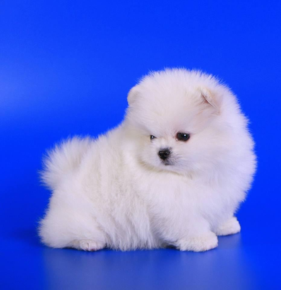 Wonderful Teacup pomeranian Puppies For Free Adoption.for
