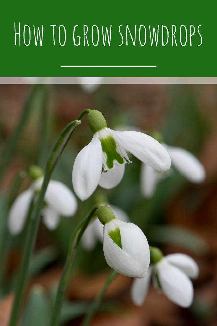 How And Where To Grow Snowdrops Perennial Plants Planting Flowers Flowers Perennials