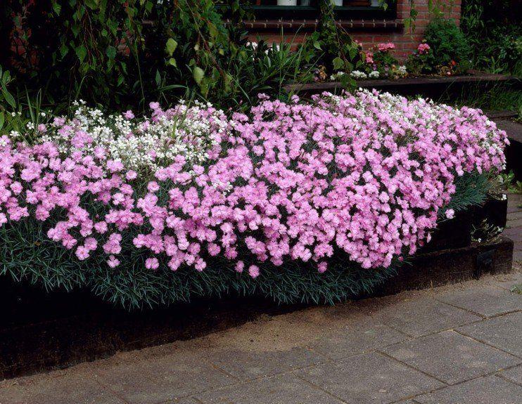 Nelken Im Garten Pflanzen 8 Arten Fur Ein Blumen Paradies Dekorationen Ideen Garten Pflanzen Pflanzen Garten