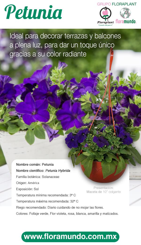 Petunia Hybrida Plantas Ornamentales De Sol Jardineria Y Plantas Cultivo De Plantas