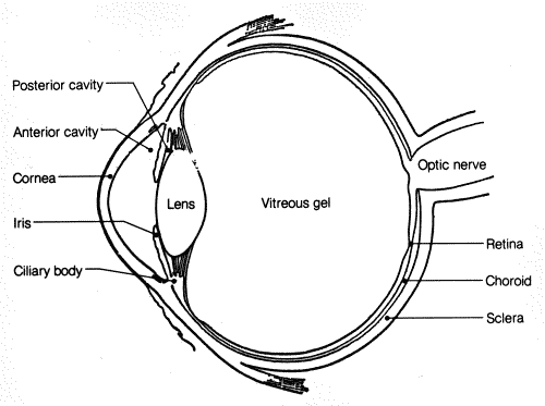 Conditions that can affect your eyes anatomy of the eye human eye anatomy ccuart Gallery