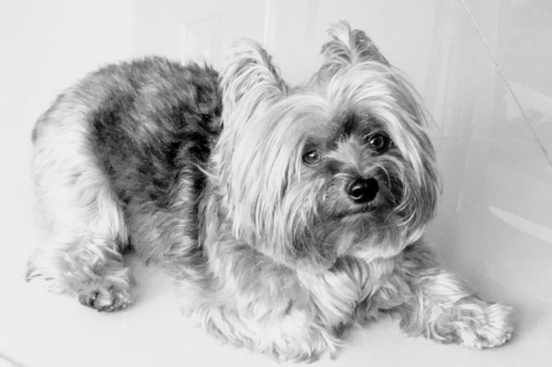Fred O Yorkshire Em Preto E Branco Dog Photography Yorkshire Terrier Dog Lovers