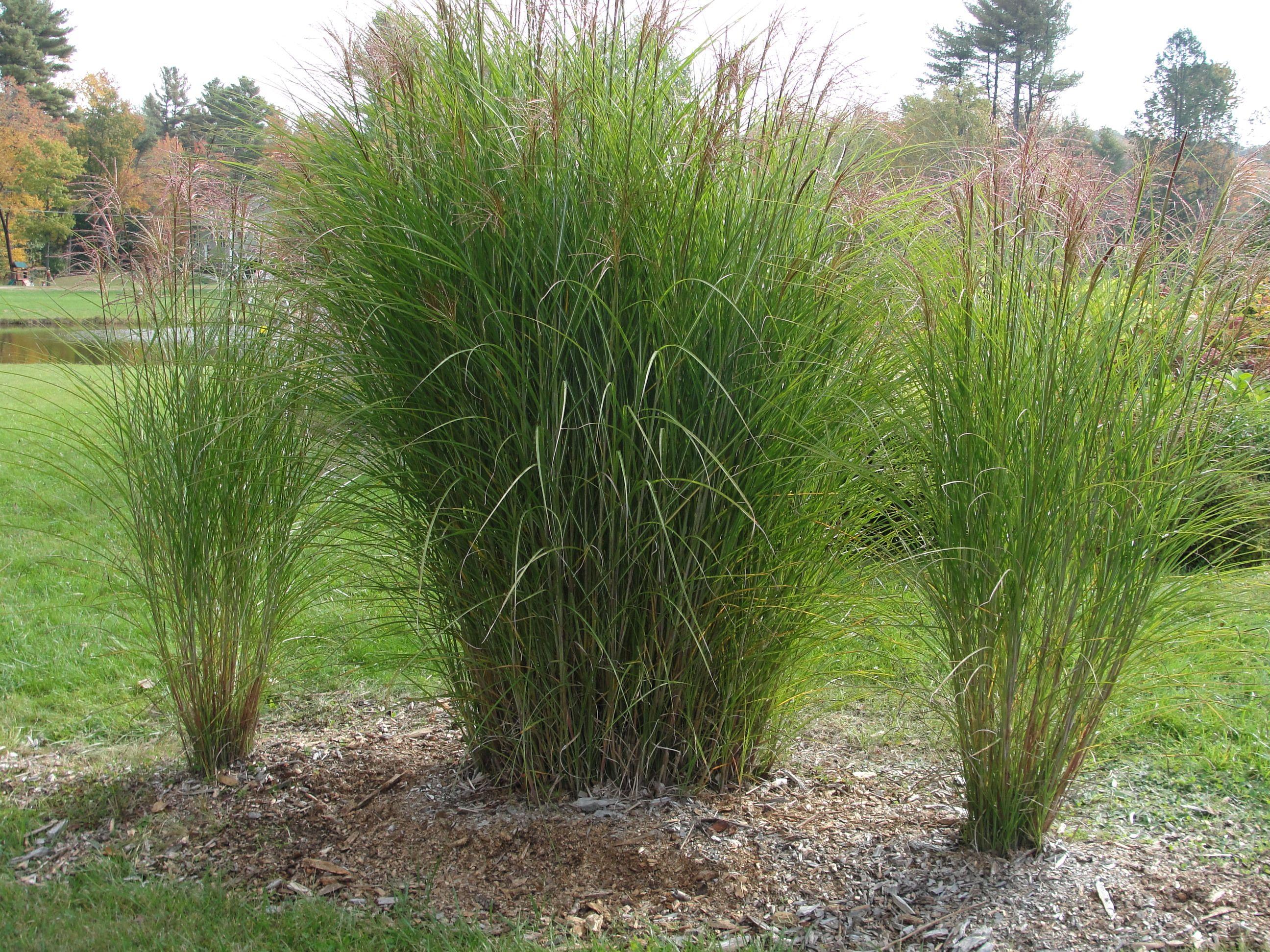 Ornamental Grasses Ontario Photo ornamental grasses ornamental grass backyard ideas photo ornamental grasses ornamental grass workwithnaturefo