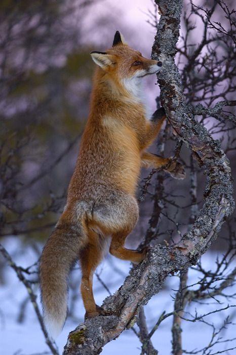 What a sly glance!!! --- Red Fox #fox #mischief #animals