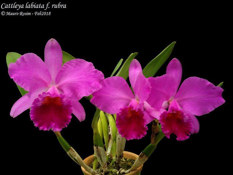 Cattleya Labiata F Rubra Flowers Plants Garden