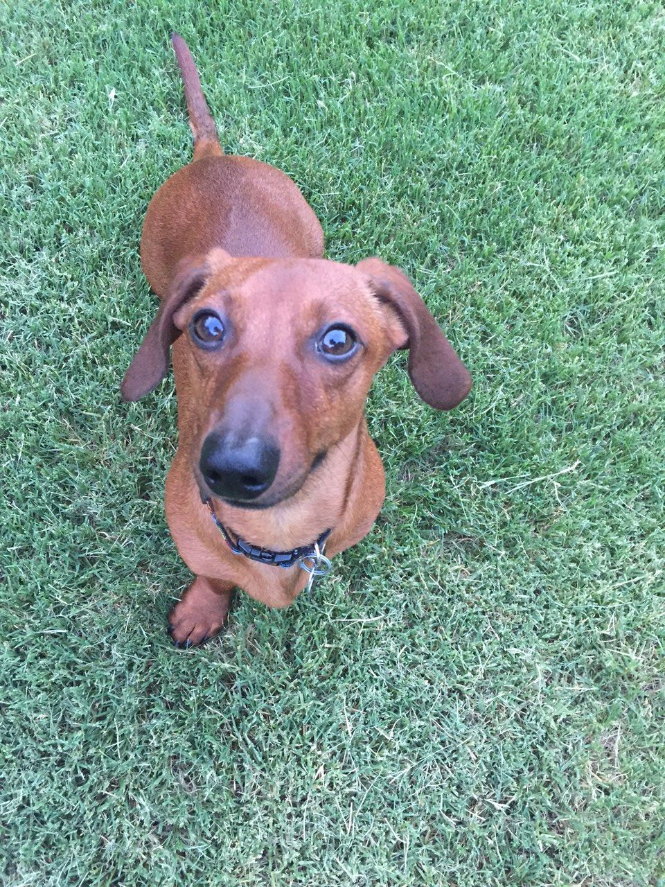 Chase Red Shorthaired Mini Dachshund Dackel Wiener Dog Badger