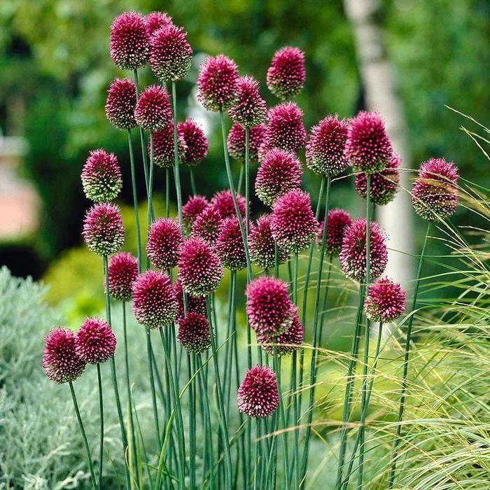 Pin By Longfield Gardens Flower Bul On Gardens Secret Allium Flowers Bulb Flowers Plants