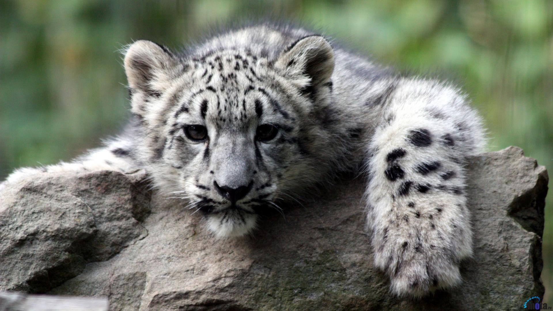 black jaguar wallpapers p leopard snow leopard car black 1920a—1080 snow leopard wallpaper