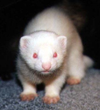 Had One Once Ferret Albino Pet Store