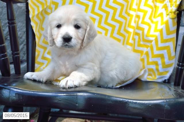 Golden Retriever English Cream Puppy For Sale In Ohio Puppies
