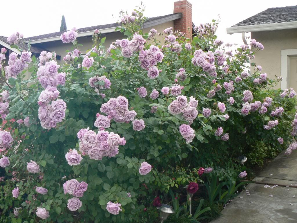Fragrant Lavender Simplicity Hedge Rose View from neighbors
