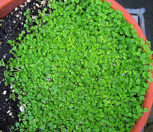 Pin By Jose Peralta On Groundcover Mint Herb Corsican Mint Mint Plants