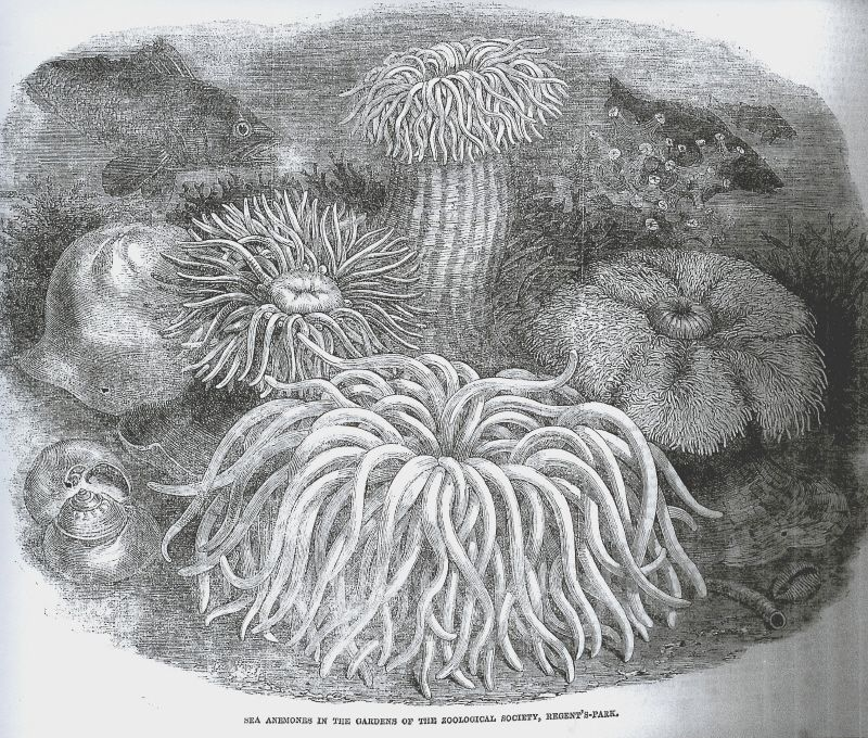 From the Illustrated London News 1854; in 1853 PH Gosse helped set up 7 tanks or marine 'aquaria' at the Zoological Society of London. 'How picturesque, how beautiful, how strange, how fantastic, how luxuriant', the ILN enthused.