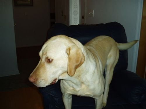 Adopt Ripple On Yellow Labrador Retriever Labrador Retriever Labrador Retriever Mix