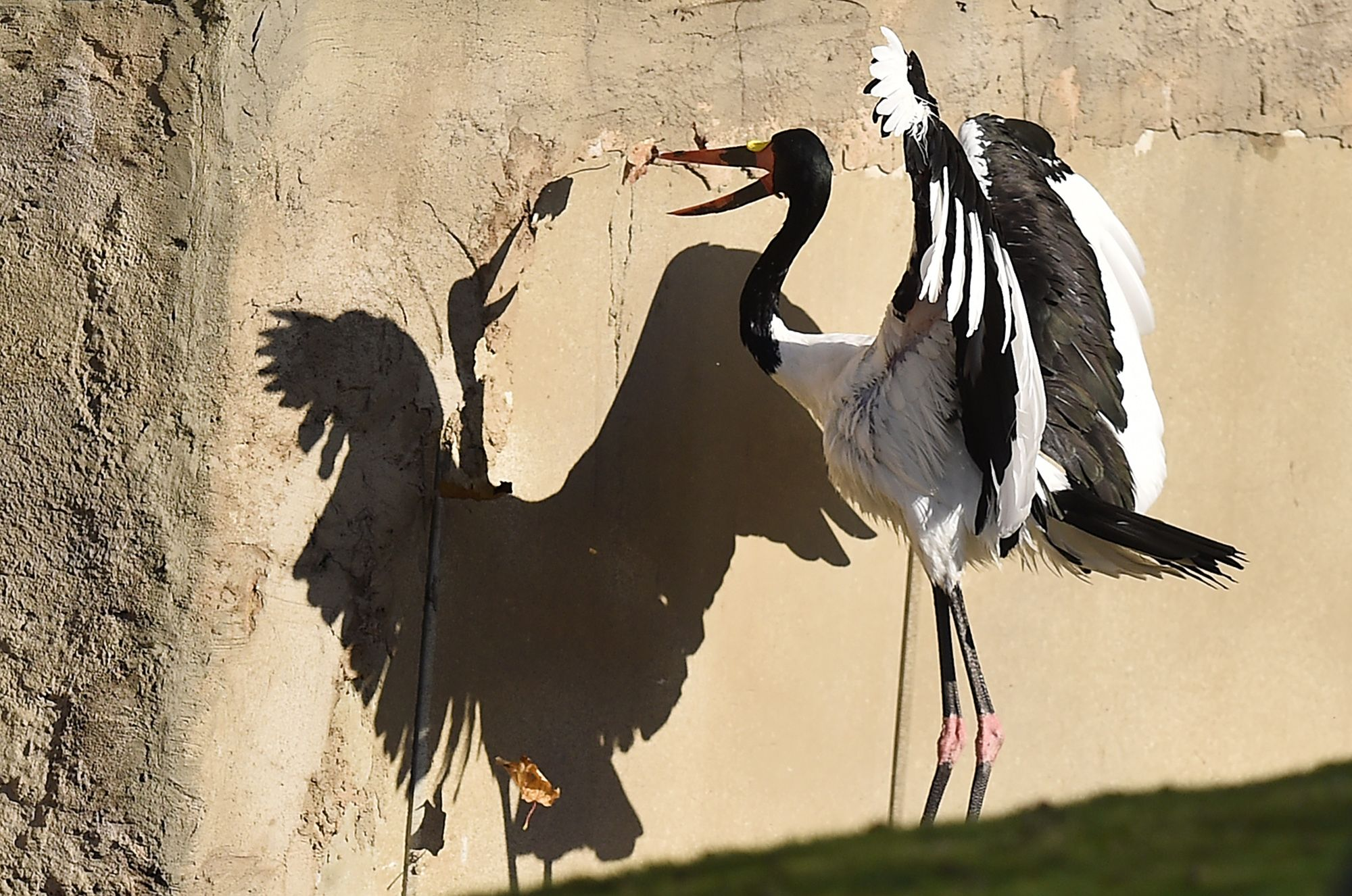 A saddle-billed stork casts a shadow as it catches a falling leaf on a sunny autumn day at the zoo in Gelsenkirchen, Germany.
