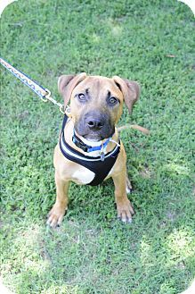 Bullmasador Dog For Adoption In Pequot Lakes Mn Adn 715588 On