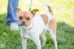 Adopt Tasha On Chihuahua Dogs Chihuahua Mix Chihuahua