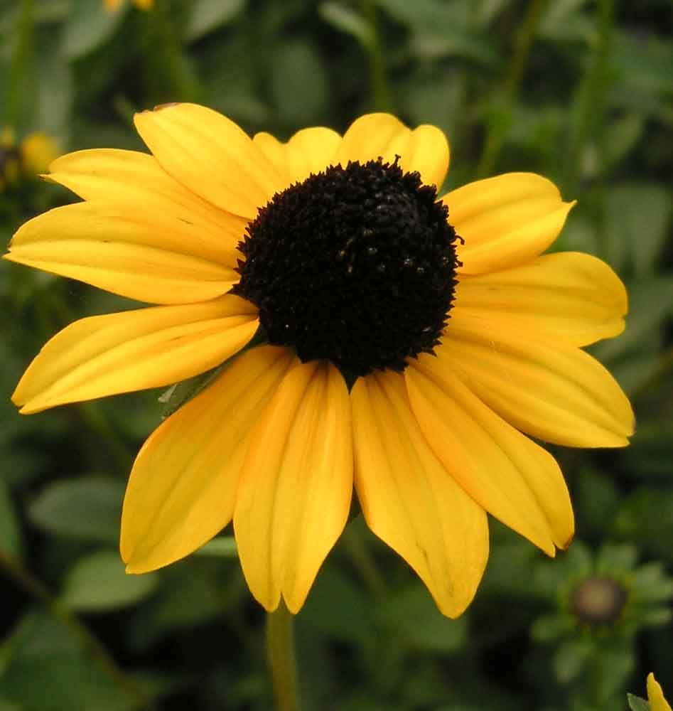 Little Susie Black Eyed Susan A Compact Variety Of Popular Black