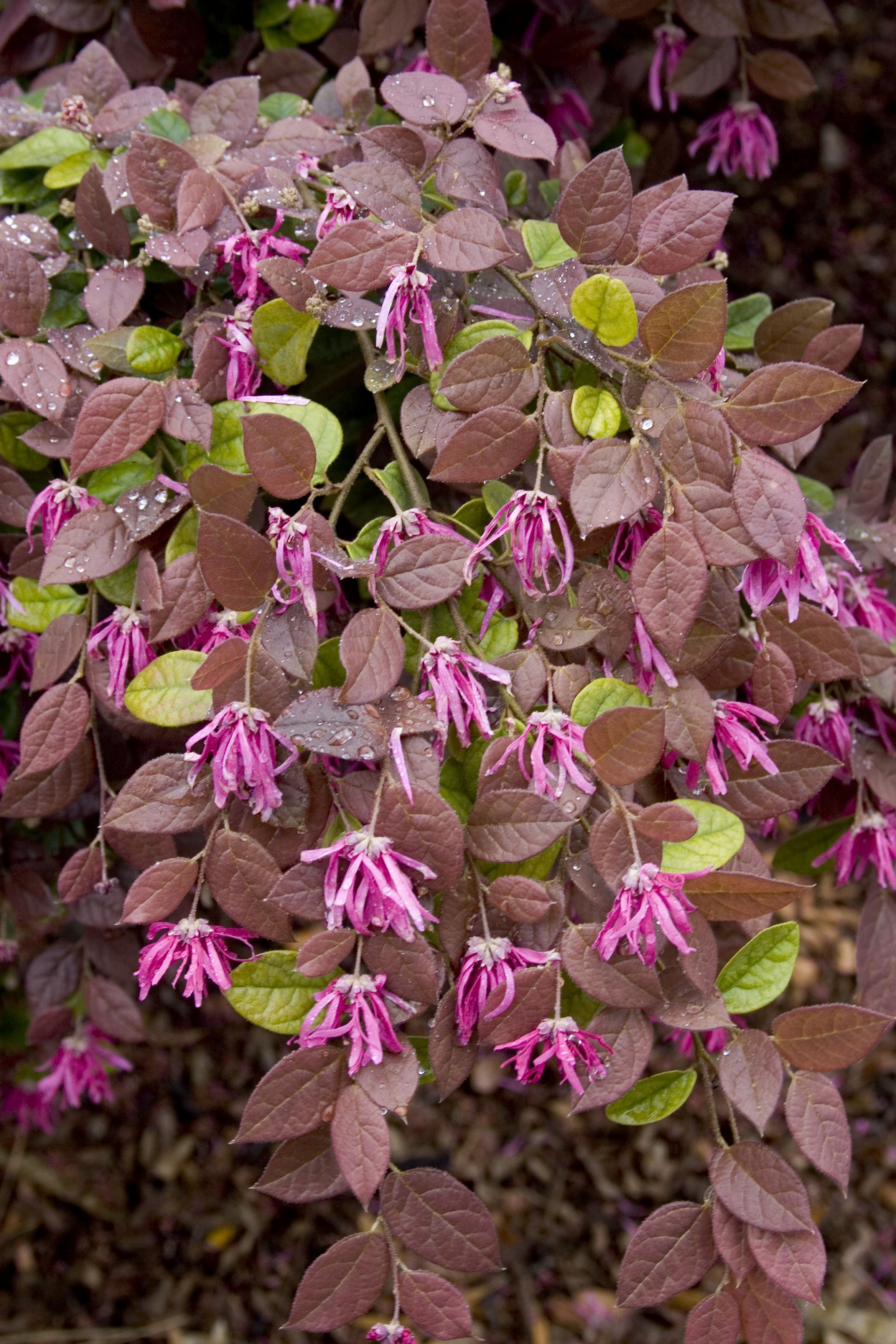 Razzleberri Loropetalum Taylor Art Studio Pinterest Plants