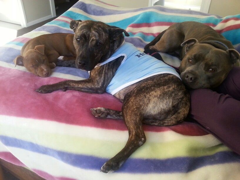 Three in the bed. #Staffy #cute